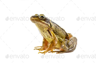 Common brown frog sitting upright preparing to leap