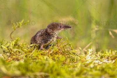 Pygmy shrew looking in natural environment