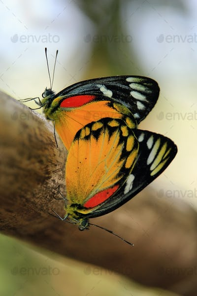 Butterfly couple mating on a tree