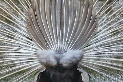 Peacock with colorful spread feathers. Back side. Horizontal