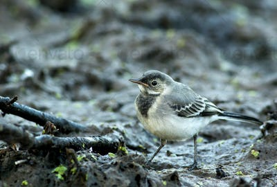 Young White Wagtail (Motacilla alba) portrait close