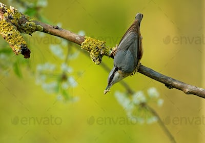 Eurasian nuthatch (Sitta europaea) in springtime on the branch