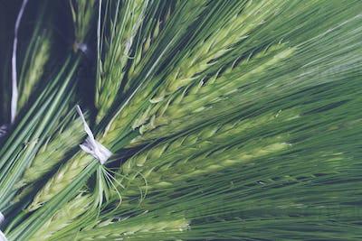 fresh green wheat bunch