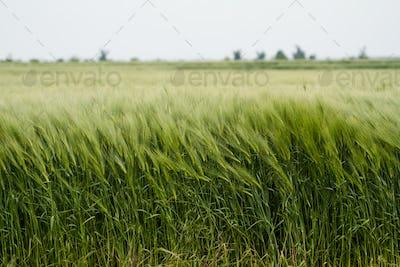 field of green wheat
