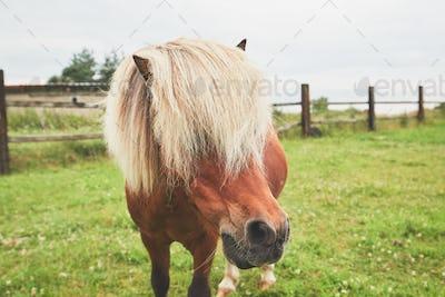 Miniature horse on the pasture