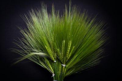 large fresh green wheat bunch
