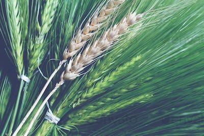 fresh green and golden ripe wheat bunch