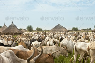 Cattle drive in South Sudan