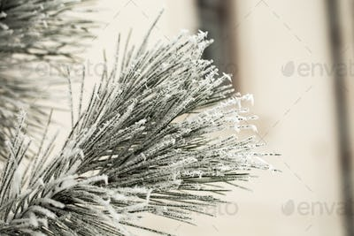 Pine branch in hoarfrost on a cold day