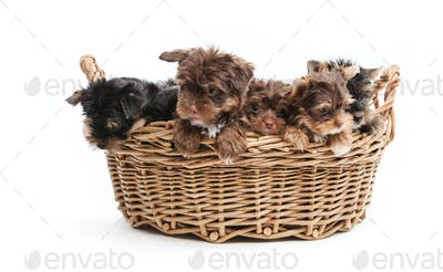 Four yorkshire terrier puppies in a basket over white