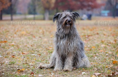 Briard dog in autumn park