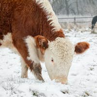 cows grazing in snow