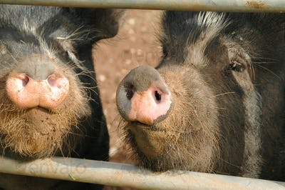 pig snouts