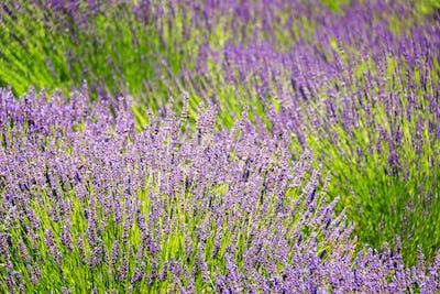 Lavender Flower Closeup