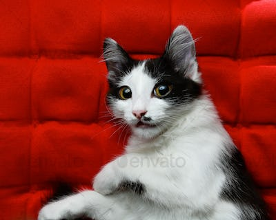 Kitten on a red background
