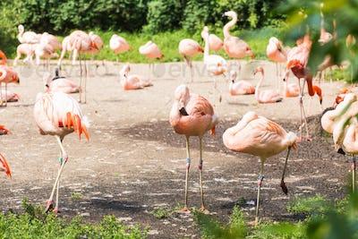Flock of Greater Flamingo, Nice pink big bird, animal in the nature habitat