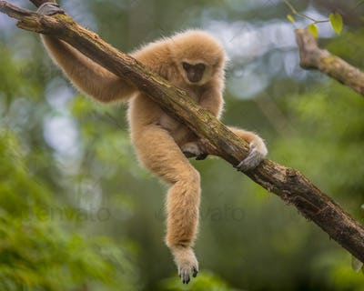 Lar gibbon climbing on branch in natural environment