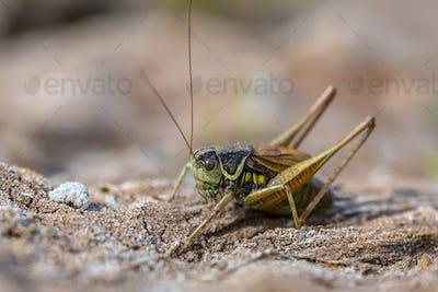 Roesels bush cricket in natural environmnt