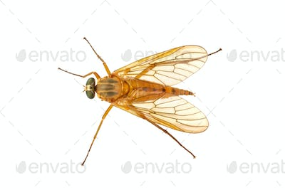 Snipe fly (Rhagio) on a white ackground