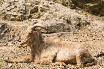 Wild goat in nature