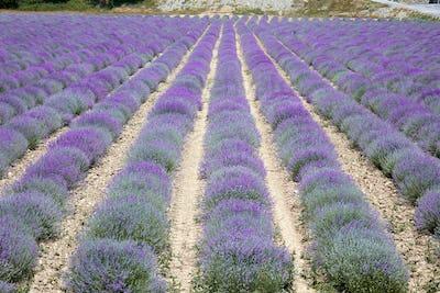 Lavender field, beautiful purple bloom in Provence