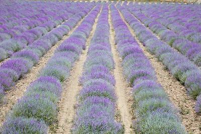 Beautiful purple lavender flowers field, perspective