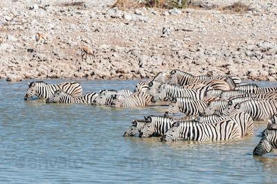 Burchells zebras standing in a waterhole to drink