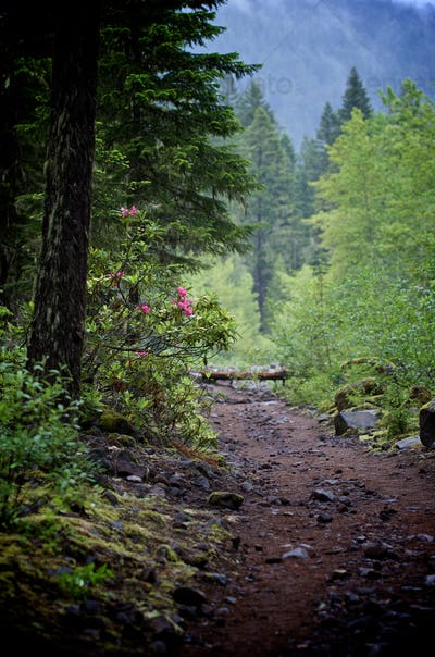 Forest path with rhododendrons
