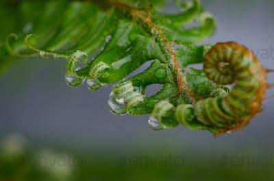 Rain on a Fern