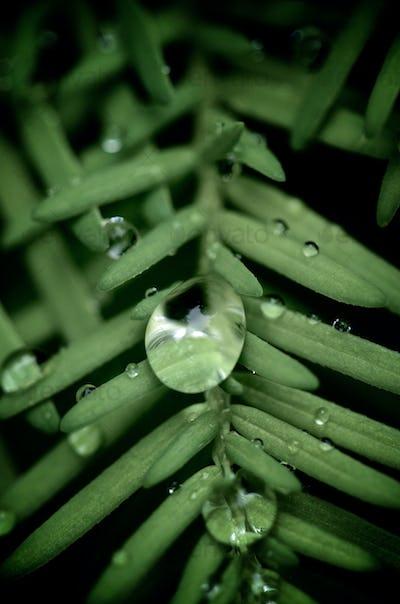 Raindrop on a pine needle