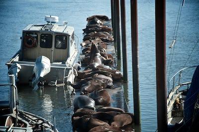 Sea lions on a dock
