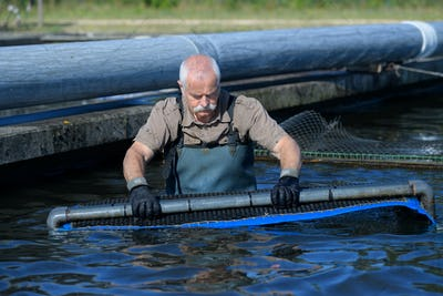 the harvest of farmed fish