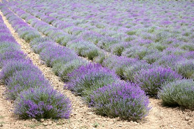 Beautiful lavender field in Provence, France
