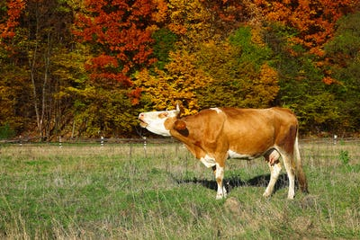 Single cow moos near colorfull Autumnal forest