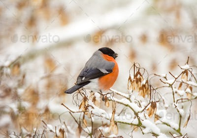 Male eurasion bullfinch bird sitting on a snow covered tree