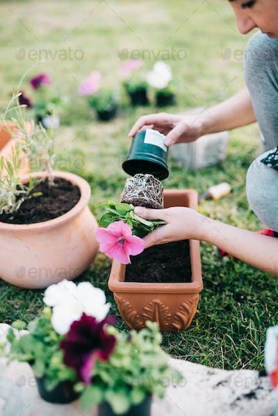 Planting petunia plants