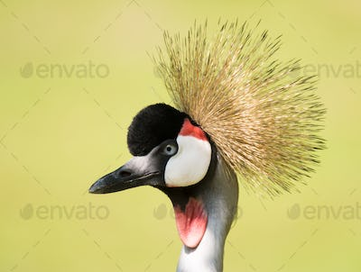 Portrait of a grey crowned crane