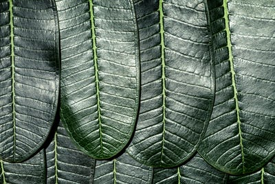 Close up of Plumeria leafs