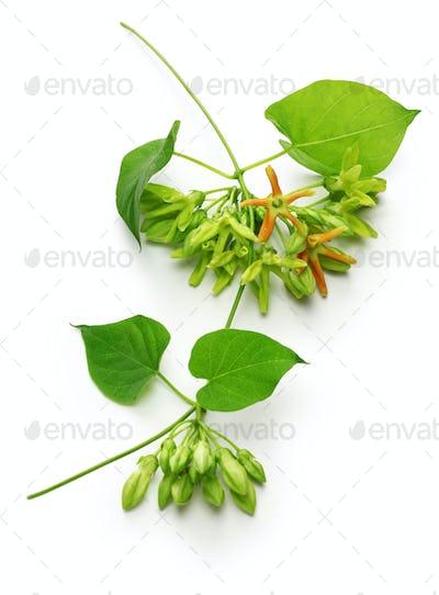 tonkin flower,night fragrant flower