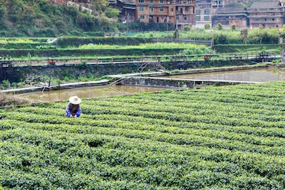 tea field and irrigation canal in Chengyang