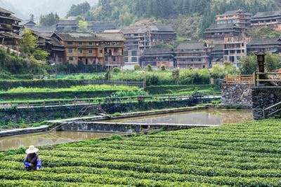 tea plantation and irrigation canal in Chengyang