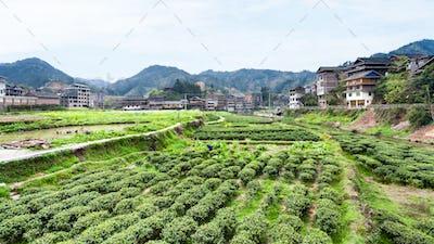 tea plantations in Chengyang village