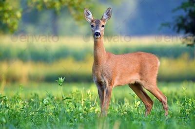 Female roe deer in a field