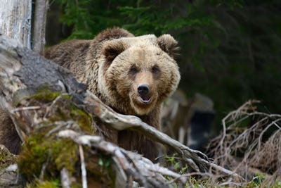 Brown bear in the forest