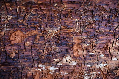 Traces of bark beetle on tree trunk