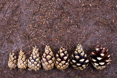 Pine cones lined up in ascending order.
