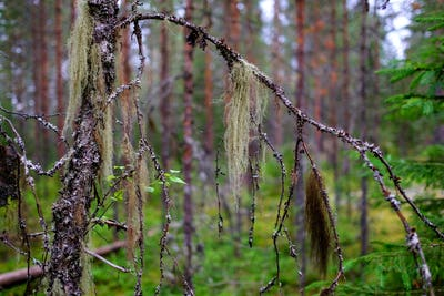A multicolored lichen Usnea hangs on a birch branch in a wild forest.