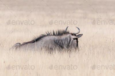 Blue wildebeest lying in grass