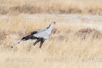 Secretary Bird, Sagittarius serpentarius walking in grass
