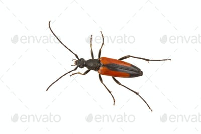 Beetle (Stenurella melanura) on a white background